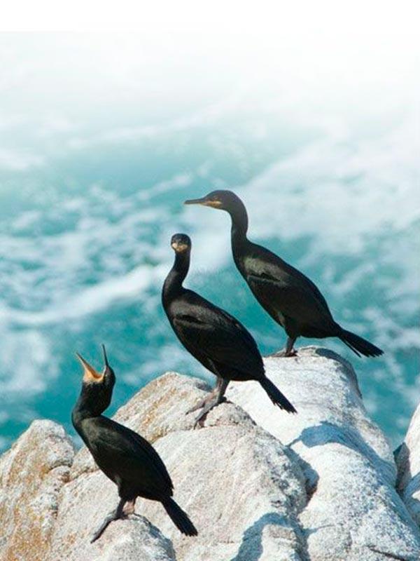 Cormoranes moñudos - Fauna Islas Cíes
