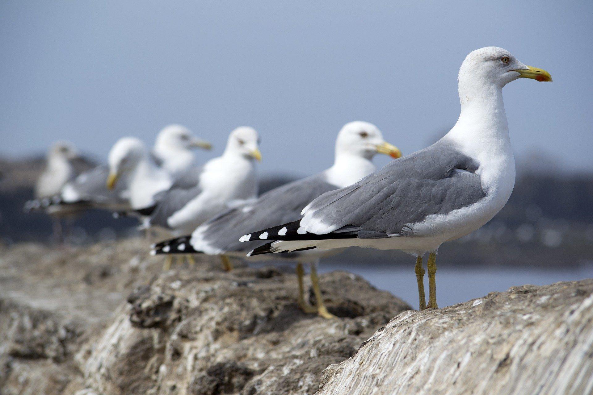 observar aves en cíes y ons